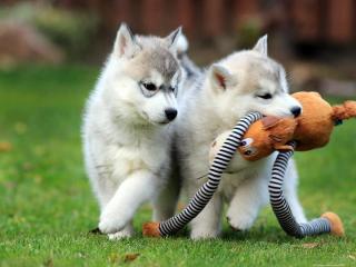 ,Tienisté a tienisté šteniatka sibírskeho huskyho