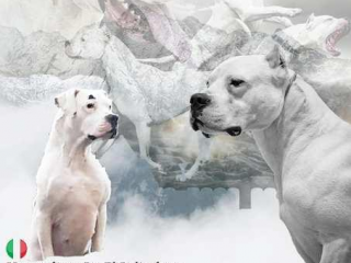 ,Dogo Argentino, šteniatka chovateľskej stanice Triangle
