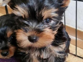 ,Yorkshirsky terrier