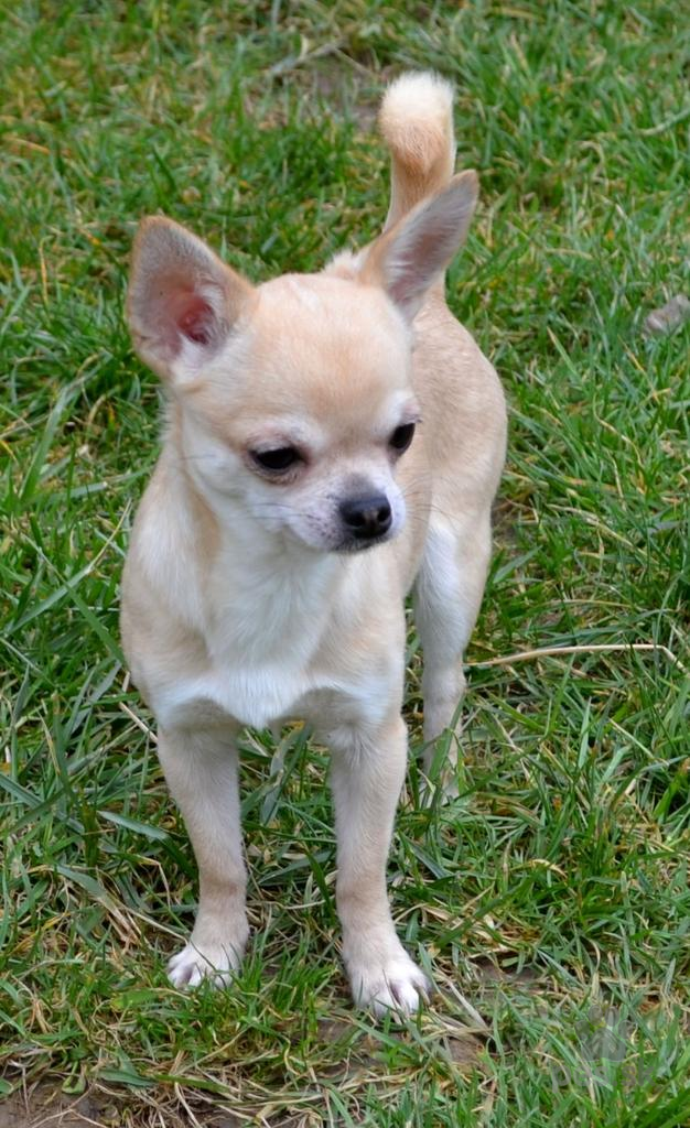 2be48ee7052 Predám šteniatka čivavy - Predám psa ČIVAVA