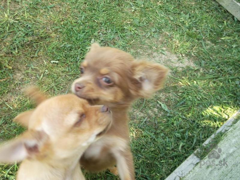 9d894b18b56 Čivava čoko extra mini a gold s HD videoukážkou - Predám psa ČIVAVA ...