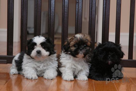 Shih-Tzu šteniatka na predaj - Predám psa ŠI-TZU  747e98da89a