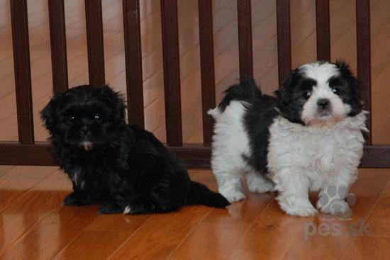 ... Shih-Tzu šteniatka na predaj · Spoločenské a sprievodné psy 1bb6e5a05f9