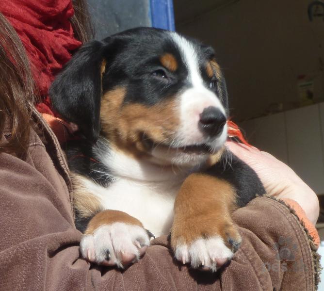 b625d71f7b6 Appenzellský salašnický pes - štěňátka s PP - Predám psa ...