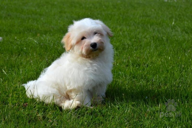 Havanský psík – bišonek - Predám psa HAVANSKÝ PSÍK  e38742f636