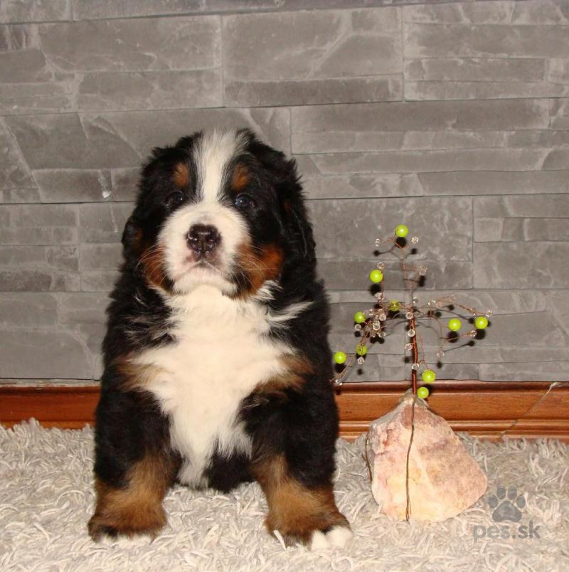 bernsky salasnicky pes - Predám psa BERNSKÝ SALAŠNÍCKY PES  79c4070fa66
