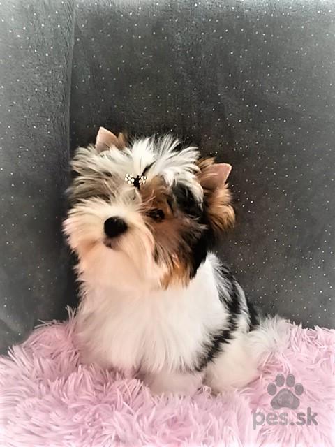 Biewer Yorkshire Terrier - Predám psa BIEWER YORKŠÍRSKY TERIÉR  ab2d46d42c6