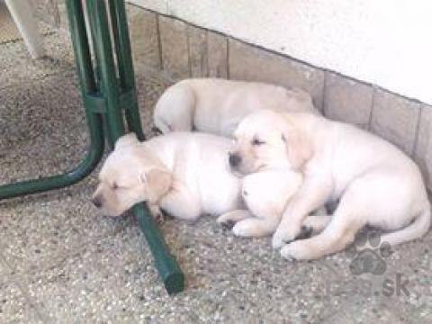 Retrívre, sliediče a vodné psy,Labrador - šteniatka