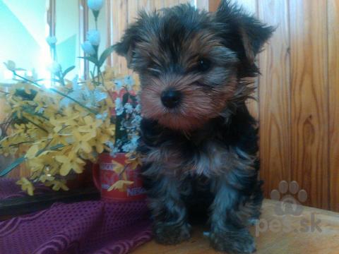 Teriéry,Yorkshiere terrier