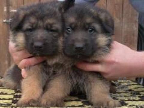Ovčiaky a pastierske psy,Nemecký ovčiak šteňatá k dispozícii pre rehoming