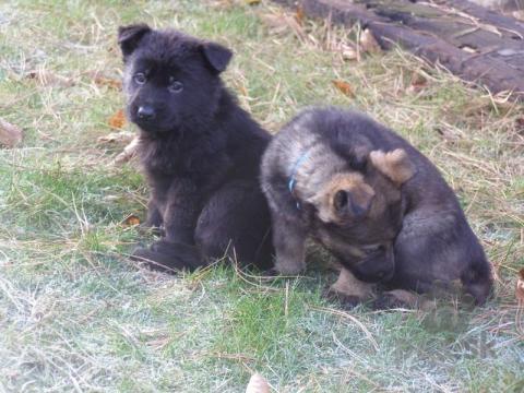 Ovčiaky a pastierske psy,Štěňátka německých ovčáků s výborným rodokmenem