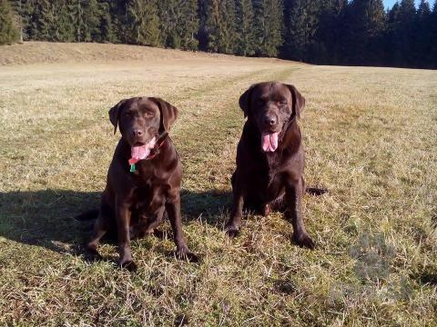 Retrívre, sliediče a vodné psy,čokoládový labrador