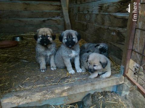 Pinče, bradáče, molosoidy a švajčiarske salašnícke psy,Kaukazsky ovciak