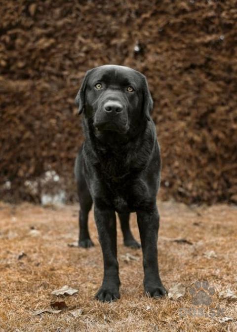 Retrívre, sliediče a vodné psy,Labradorský retriever čiernej farby
