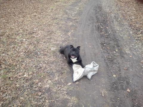 Teriéry,ponuka psa staffordshirsky bulterier