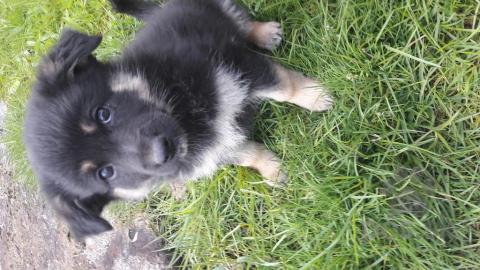 a7f965052 Darujem steniatka - Darujem psa KRÍŽENEC | Pes.sk
