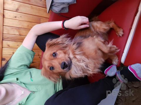 Jazvečíky,Darujem psa