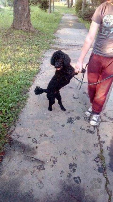 Spoločenské a sprievodné psy,Krytie PUDEL