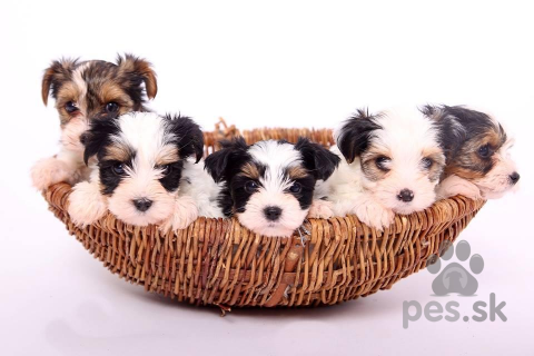 Teriéry,Biewer yorkshire terrier