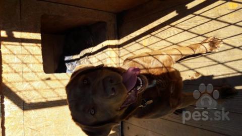 Retrívre, sliediče a vodné psy,Labrador