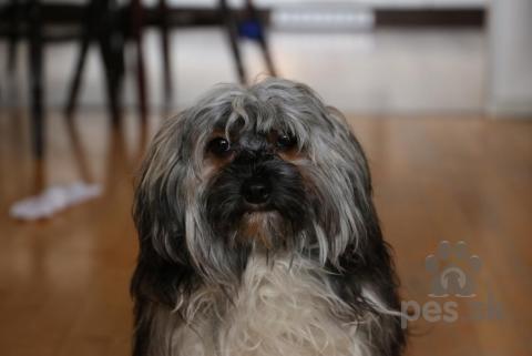 Spoločenské a sprievodné psy,Čínsky chocholáč s PP(Čínska chocholatá rasa)