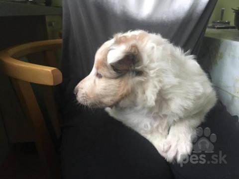 Ovčiaky a pastierske psy,Darujem šteniatko šeltie (Šetlandský ovčiak)