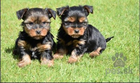 Pinče, bradáče, molosoidy a švajčiarske salašnícke psy,Yorkshirský teriér s rodokmeňom pripravený na prevzatie.