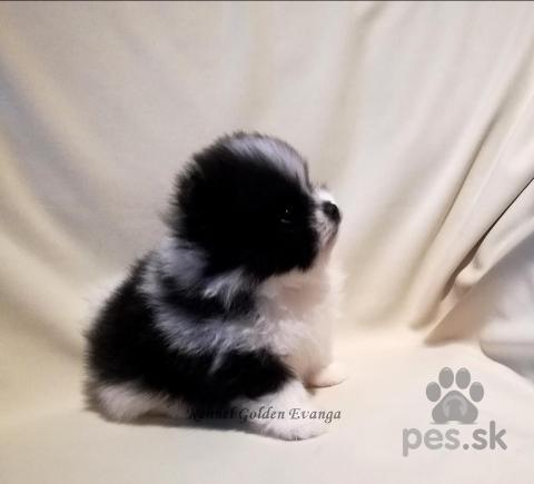 Špice a primitívne typy,Pomeranian-prodám pejska s PP