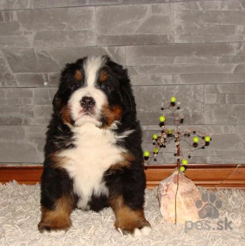 Pinče, bradáče, molosoidy a švajčiarske salašnícke psy,bernsky salasnicky pes