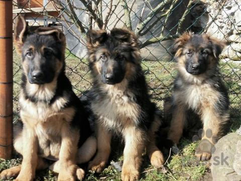 Ovčiaky a pastierske psy,Štěně Německého ovčáka