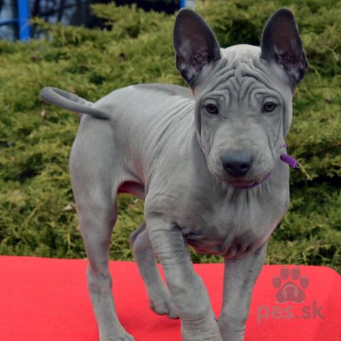 Špice a primitívne typy,Thajský ridgeback – modré šteniatka s PP.