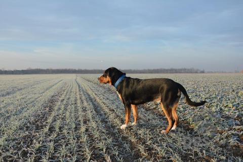 Pinče, bradáče, molosoidy a švajčiarske salašnícke psy,Veľký švajčiarsky salašnícky pes - Boss