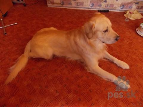 Retrívre, sliediče a vodné psy,Pes na krytie 0950 862 682