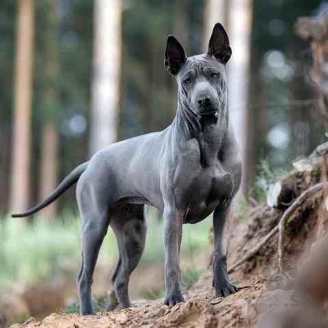 Špice a primitívne typy,Thajský ridgeback – modré šteniatko s PP.