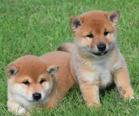 Špice a primitívne typy,šiba Inu psi
