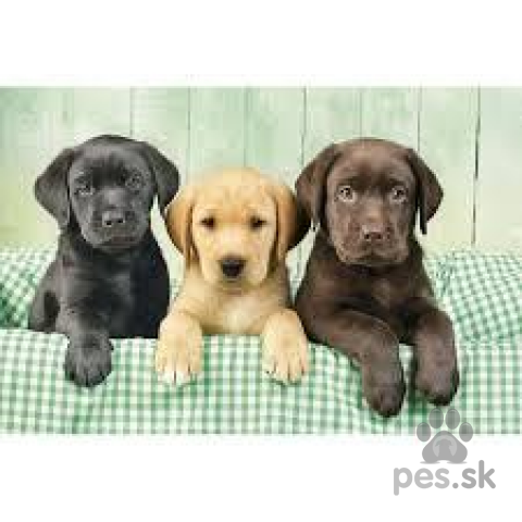 Retrívre, sliediče a vodné psy,šteniatko labradora