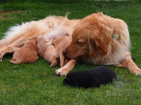 Pinče, bradáče, molosoidy a švajčiarske salašnícke psy,Predám šteniatka Hovawarta s PP
