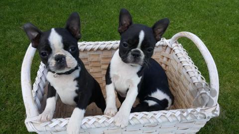 Spoločenské a sprievodné psy,Šteniatka Boston Terier