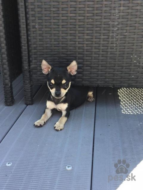 Spoločenské a sprievodné psy,šteňatá čivava na prijatie