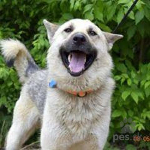 Ovčiaky a pastierske psy,BURBON usmievavý rodinný kamarát milučký ovčiak