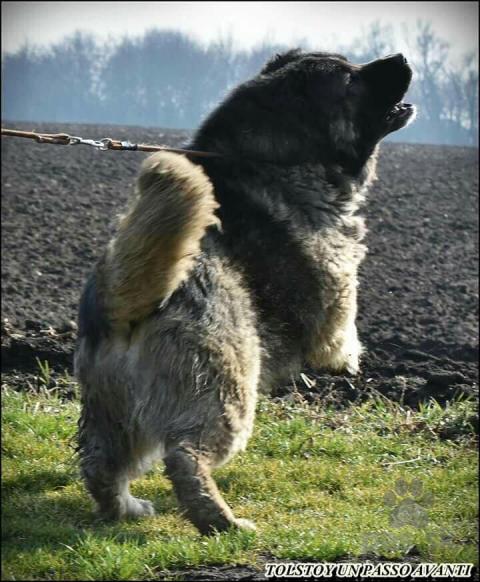 Pinče, bradáče, molosoidy a švajčiarske salašnícke psy,Šteňa kavkazského ovčiaka na predaj