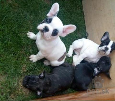 Špice a primitívne typy, Francúzske šteniatka na adopciu