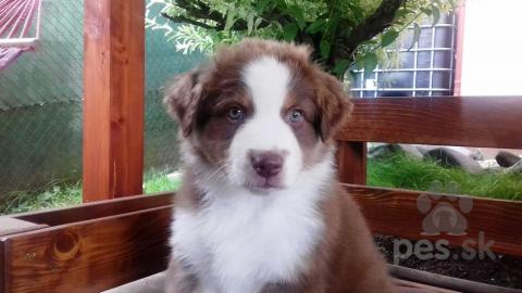 Ovčiaky a pastierske psy,Austrálsky ovčiak - šteniatka s PP