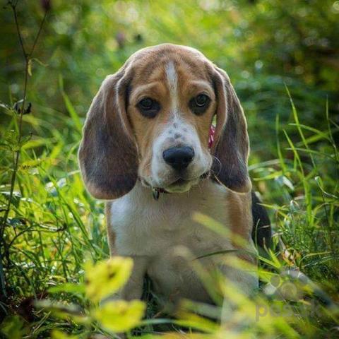 Duriče, farbiare a príbuzné plemená,Beagle na ktytie
