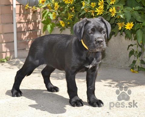 Pinče, bradáče, molosoidy a švajčiarske salašnícke psy,Kvalitné  Cane Corso šteniatka