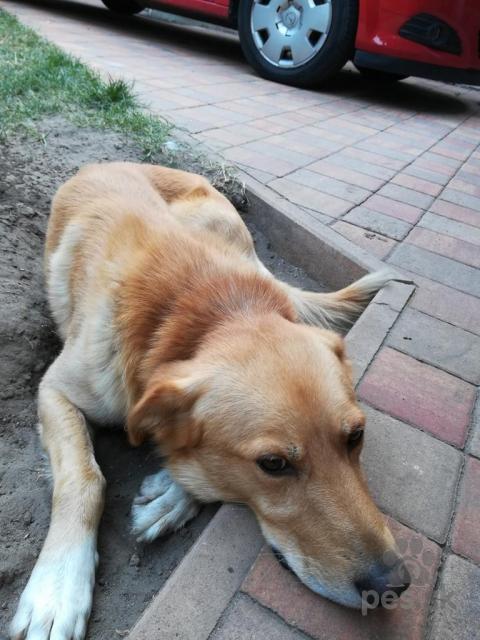 Retrívre, sliediče a vodné psy,Darujem psíka