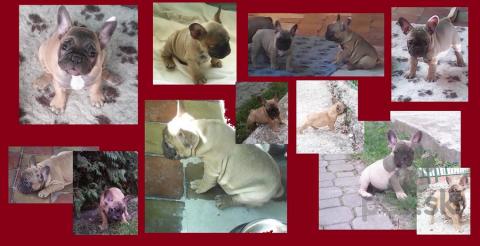 Spoločenské a sprievodné psy,Francúzsky buldoček s PP - šteniatka
