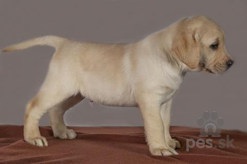 Retrívre, sliediče a vodné psy,Labradorský retriever