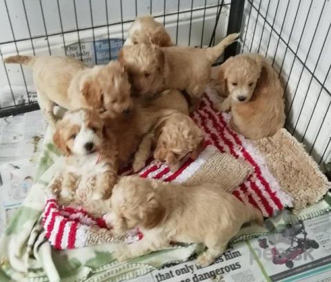 Spoločenské a sprievodné psy,Roztomilé šteniatka pre adopciu