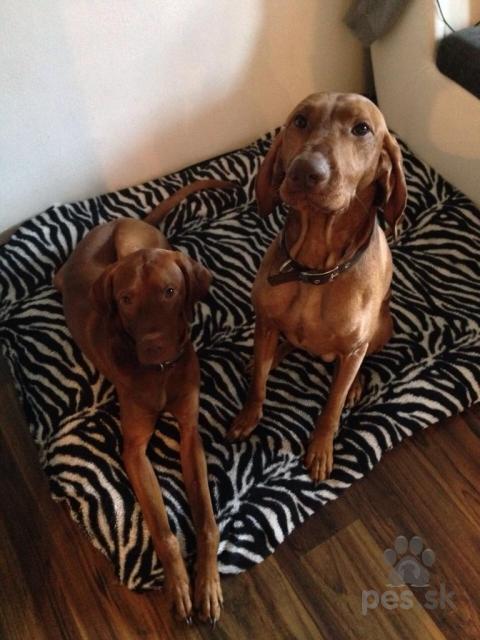 Stavače,Maďarská vyžla- darovanie dvoch psíkov do dobrých rúk